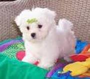 Cute and Sweet Maltese puppuies for sale