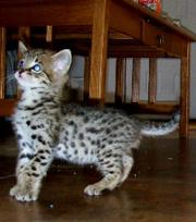 Savannah ,  Ocelot ,  Caracal ,  Margay and Serval kittens for sale